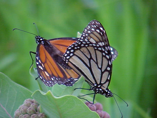 Mating monarch pair